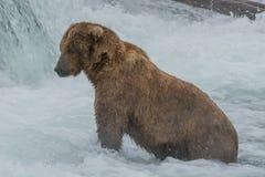 在每年三文鱼奔跑期间的一条北美灰熊传染性的三文鱼在溪落,阿拉斯加 免版税库存照片