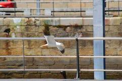 在比戈码头的海鸥飞行  免版税图库摄影
