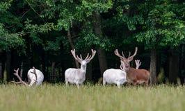 在比赛储备, backgroung的森林的一些庄严白色和棕色鹿 库存图片