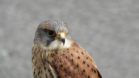 在比赛公平的北爱尔兰的鹰 免版税图库摄影