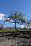 在毛伊海岛的结构树  库存图片