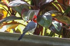 在毛伊海岛,夏威夷上的热带五颜六色的红色鸟 库存图片