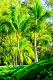 在毛伊fo棕榈和其他植被的树场面 免版税库存照片