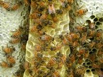 在毛刺梳子的蜂 免版税库存照片