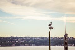 在毛发的海鸥 免版税图库摄影
