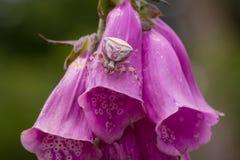 在毛地黄属植物花伪装的螃蟹蜘蛛 免版税库存照片