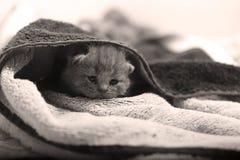 在毛巾下的小小猫 库存图片