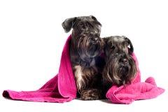 在毛巾之下的二条cesky狗狗 库存照片