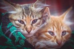 在毛巾的两只逗人喜爱的小猫 免版税库存照片
