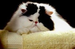 在毛巾的波斯猫 图库摄影