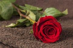 在毛巾的红色玫瑰 库存图片