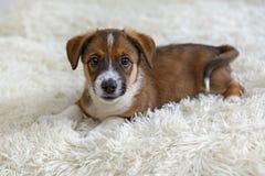 在毛皮毯子的小小狗 库存照片