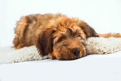 在毛皮的松弛逗人喜爱的小狗 免版税库存照片