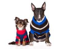 在毛线衣的英国杂种犬和奇瓦瓦狗狗 库存图片