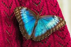 在毛线衣的蓝色Morpho蝴蝶 免版税图库摄影