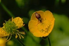 在毛茛花的Cryptophagus甲虫 库存照片