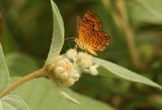 在毛茸的植物的美丽的飞蛾 库存图片