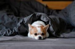 在毯子下的困逗人喜爱的奇瓦瓦狗狗在床上 库存图片