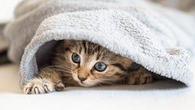 在毯子下的小的小猫 图库摄影