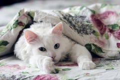 在毯子下的白色猫 图库摄影