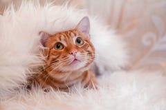 在毯子下的红色猫 免版税库存照片