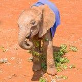 在毯子下的逗人喜爱的孤儿非洲大象 库存照片