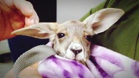 在毯子包扎的小袋鼠 图库摄影