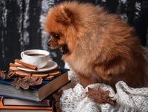 在毯子包裹的Pomeranian狗 堆书和一杯咖啡 与书的美丽的狗 库存照片