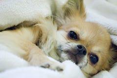 在毯子的奇瓦瓦狗 免版税图库摄影