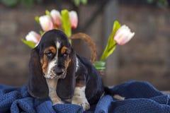 在毯子的柔和贝塞猎狗小狗 免版税图库摄影