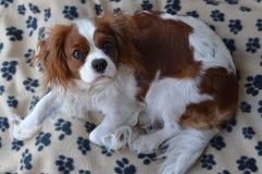 在毯子的狗 免版税库存图片