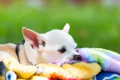 在毯子的白色奇瓦瓦狗 库存图片