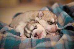 在毯子的西伯利亚爱斯基摩人狗新出生的小狗演播室画象 库存照片
