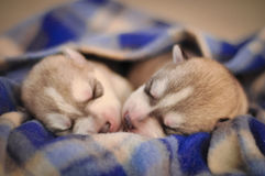 在毯子的西伯利亚爱斯基摩人狗新出生的小狗演播室画象 免版税库存图片