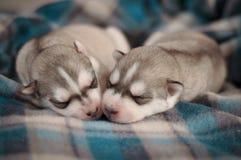 在毯子的西伯利亚爱斯基摩人狗新出生的小狗演播室画象 免版税库存照片