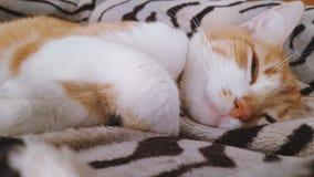 在毯子的逗人喜爱的滑稽的红白的猫 股票视频