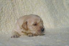 在毯子的金毛猎犬小狗 免版税库存照片