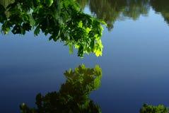 在水上的年轻绿色叶子 免版税库存照片