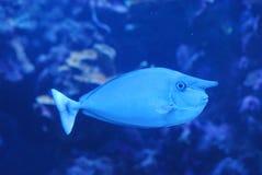 在水下的蓝色独角兽鱼游泳 免版税库存图片