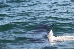 在水下的虎鲸,只有在它上的飞翅 免版税库存图片