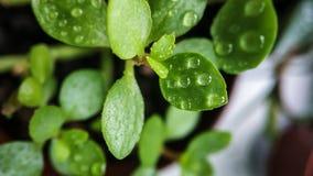 在水下落特写镜头的绿色新芽Kalanchoe 对盖子,背景 免版税库存图片