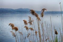 在水中增长的芦苇 库存图片