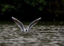 在水中淹没的海鸥一半 库存照片