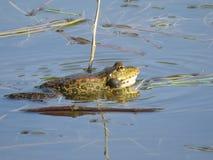 在水中部分地淹没的池蛙,在海藻背景  免版税图库摄影