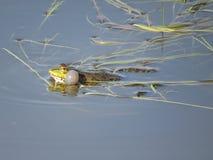 在水中部分地淹没的池蛙,在海藻背景  图库摄影