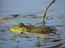 在水中部分地淹没的池蛙,在海藻背景  免版税库存图片