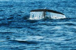 在水中飞溅尾巴驼背鲸比目鱼下潜  库存图片