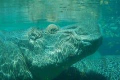 在水之下的河马 免版税库存照片