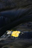 在水之下的白杨木叶子 免版税库存图片