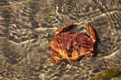 在水之下的螃蟹 免版税库存照片